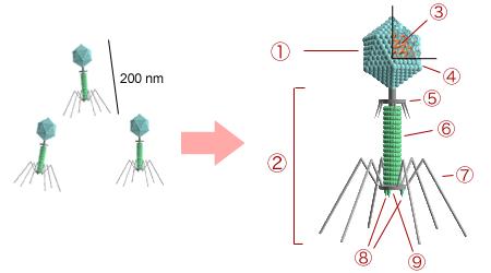 噬菌体.png